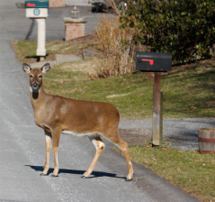 Deer in residential area