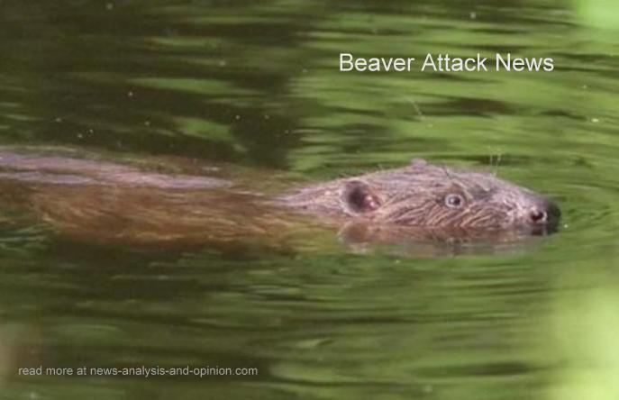 Beaver Attack News