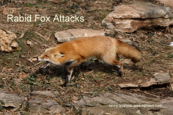 rabid fox attacks