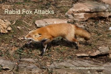 rabid fox attacks
