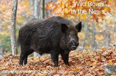 Wild Boars attacking livestock, pets and chasing humans in